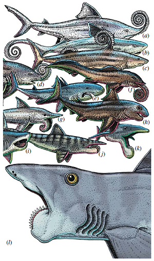 Helicoprion reconstructions
