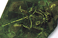 Composite fossil