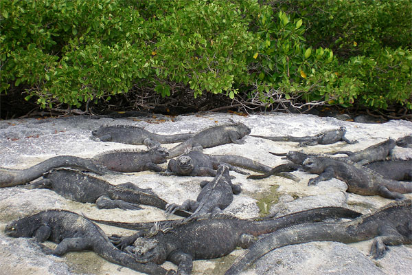 Iguanas everywhere