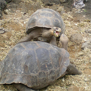 Fighting tortoises