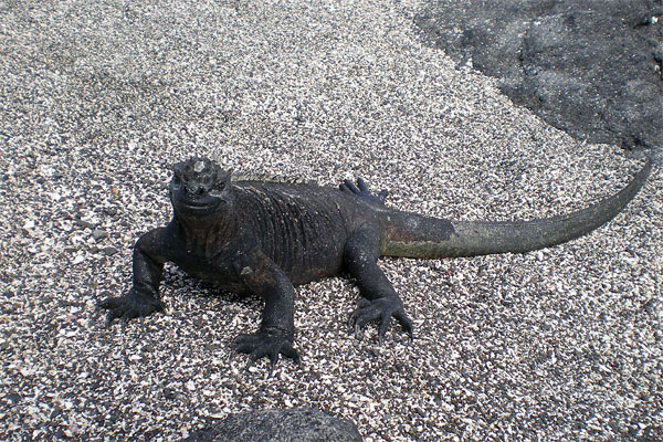 A close look at a marine iguana
