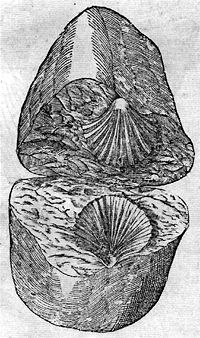 Rock pregnant with shell