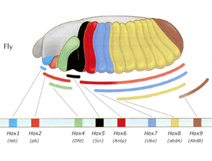 Hox genes in a fly